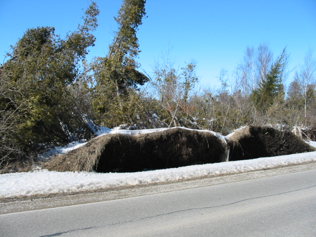 Toppled trees in the area hit by a tornado in August 2005 (picture Mar 2006)