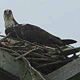 Young Osprey just outside the entrance to Belwood Lake Conservation Area